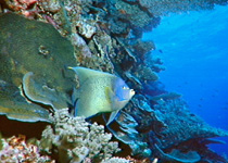 Reef Fish are plentyful in the Great Barrier Reef