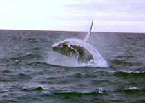 Humback Whales are often seen in The Whitsundays during the winter months